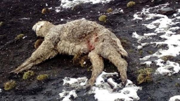 Animales salvajes atacaron cuando los comuneros estaban ausentes.
