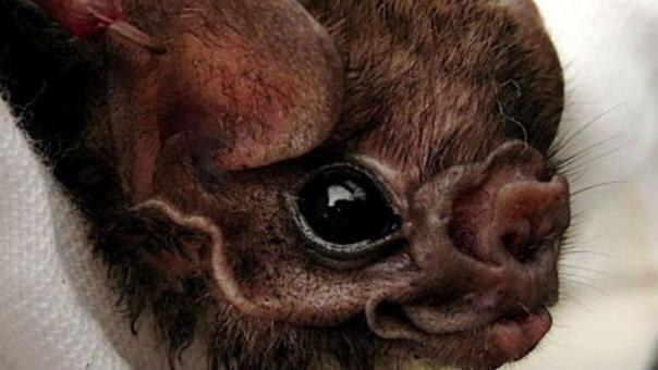Un vampiro murciélago bebé capturado en México.