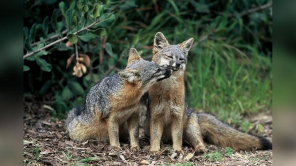 Poblaciones del zorro isleño de California (Urocyon littoralis) .
