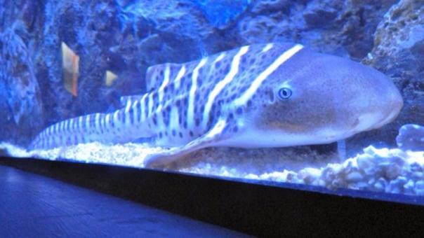 El nombre científico del tiburón cebra es Stegostoma fasciatum