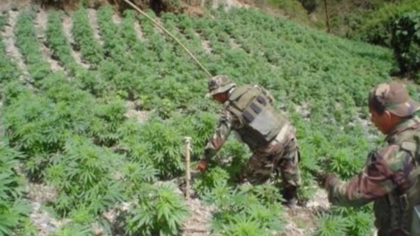 Incineran plantones de marihuana