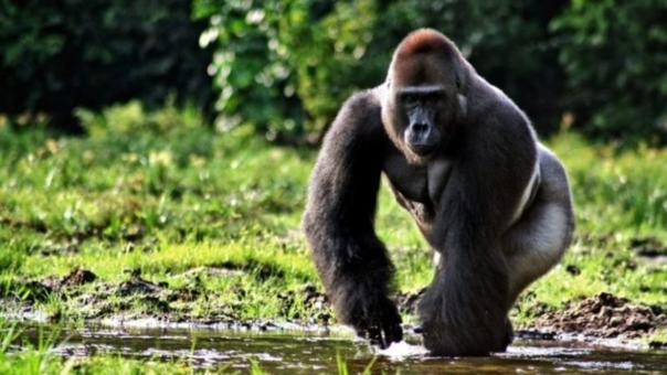 Podrían desaparecer de los bosques de Camerún.