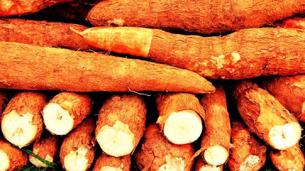 La yuca amarga se puede utilizar para producir combustible ecológico.
