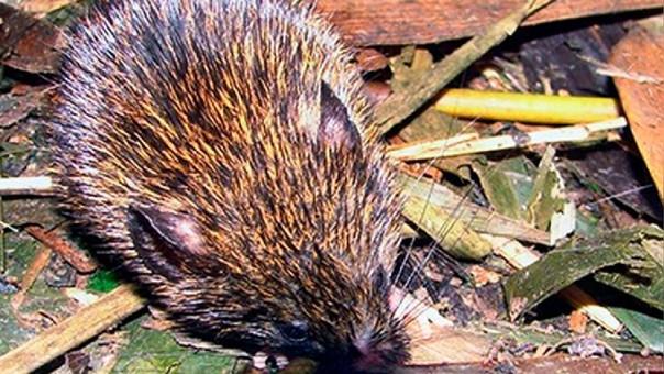Así es el pequeño roedor descubierto y bautizado en honor a Vargas Llosa.