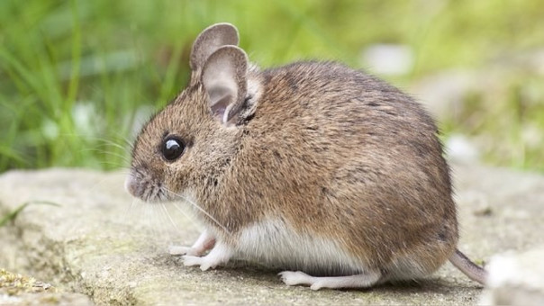 El estudio asegura que ya existían ratones hace 15.000 años en la Tierra.