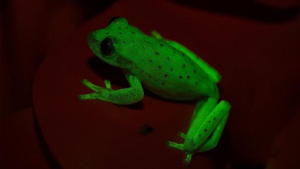 La rana fluorescente