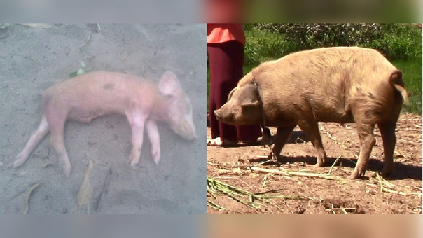 Cerdos están muriendo