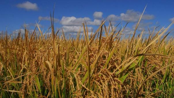 El arroz resistente a la sequía podría garantizar alimento en condiciones adversas.