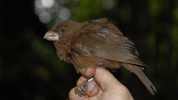 Así es la nueva especie de canario descubierta en Portugal.