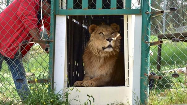 Simba y Lola fueron los únicos sobrevivientes del zoológico de Mosul, ciudad devastadas por la guerra entre los yihadistas e Irak.