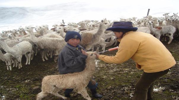La población de las zonas altas de la sierra, vive de la crianza de camélidos sudamericanos.