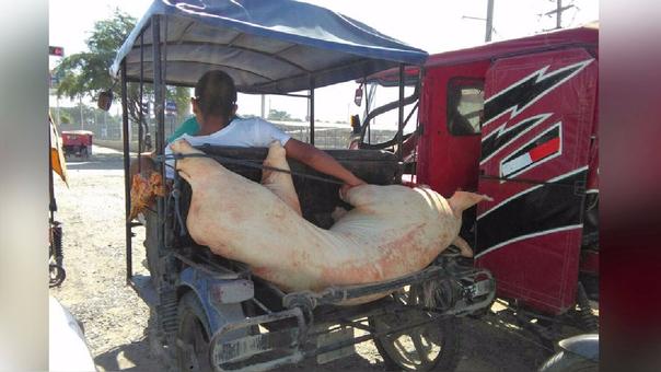 Cerdo en mototaxi