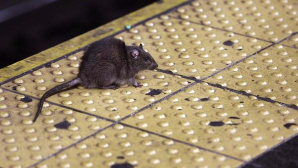 Se calcula que hay 2 millones de ratas en Nueva York, una ciudad de 8 millones de habitantes.