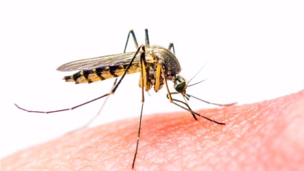 El Aedes aegypti, mosquito transmisor de la enfermedad del dengue.