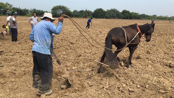Luego de lluvias se reactiva la agricultura en Lambayeque