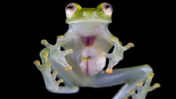 La nueva especie mide alrededor de 2,2 centímetros.