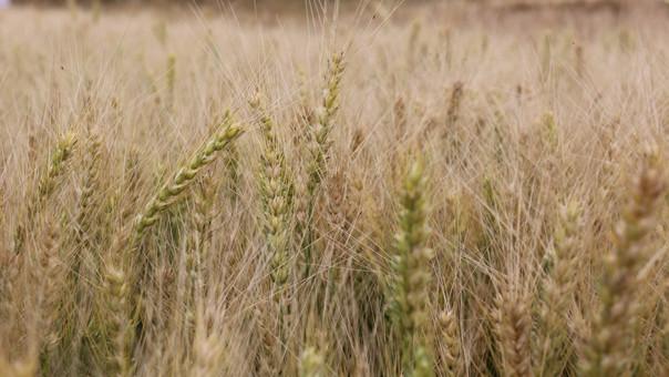 trigo resistente a enfermedades