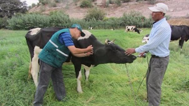 El Perú fue declarado libre de la enfermedad por la Organización Mundial de Sanidad Animal el año 2013 después de varios años de trabajo técnico a cargo del Senasa.