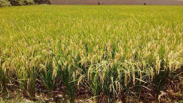 Se cosechan 43 mil hectáreas del cereal