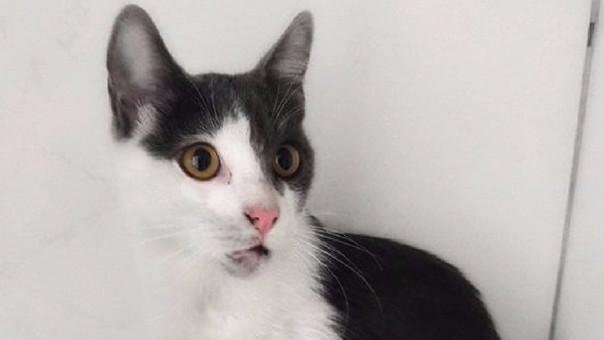 Gato Fénix