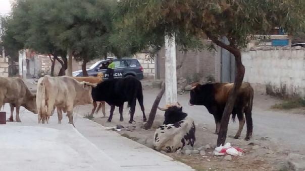 Toros causan susto a pobladores