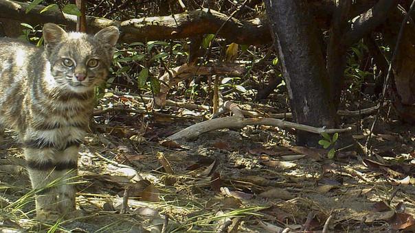 Leopardus Colocolo fotografiado por una cámara trampa.