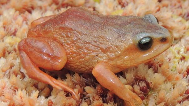 Nuevas especies de ranas son descubiertas en el Perú.