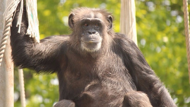 Los chimpancés también podrían tener la enfermedad del Alzheimer.