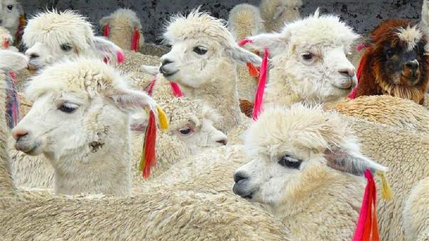 Perú destaca como mayor productor mundial de fibra de alpaca.