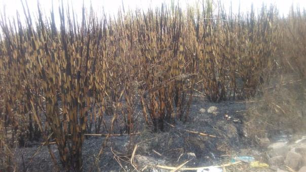 queman campos de cultivo