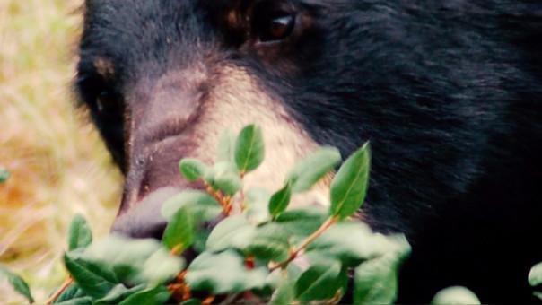 El oso Kodiak, objeto de esta investigación realizada en Estados Unidos.