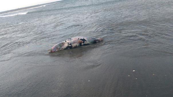 Lobo marino muerto