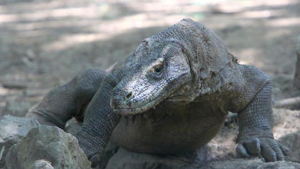 Un dragón en la isla de Komodo.