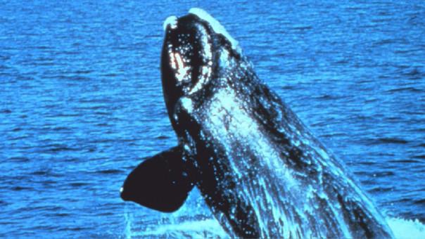 La ballena franca fue vista en las aguas de Canadá.