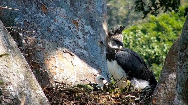 Las cámaras trampa se colocaron a una altura de casi 30 metros para captar imágenes insólitas de las águilas harpías en sus nidos.