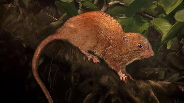 Ilustración de la Vika (Uromys vika)