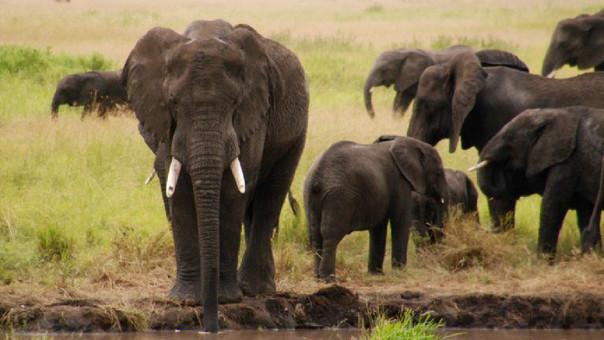 Elefantes de sabana