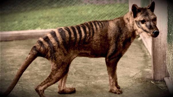Así era el tigre de Tasmania.