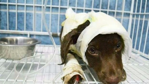 Tras ser atacado, veterinarios trataron de salvar a 'Chocolate', pero falleció una semana luego de ser internado.