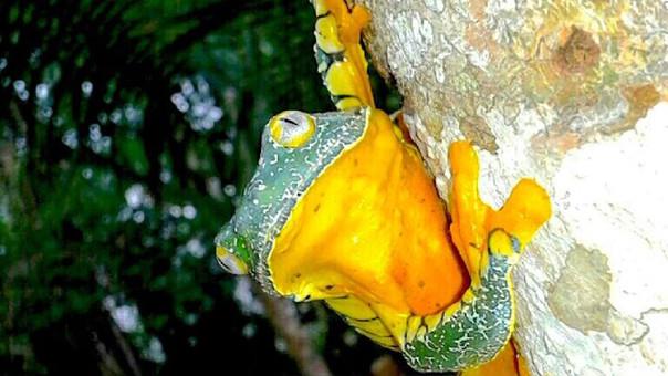 Rana de hoja amazónica