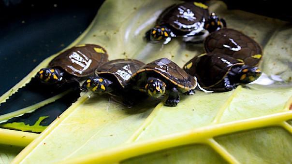 Tortugas charapa