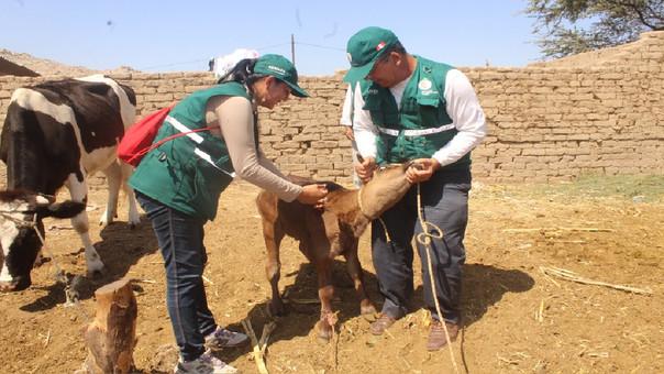 Vacunación a ganado lambayecano