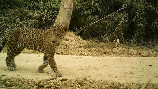 Jaguar en Tahuamanu