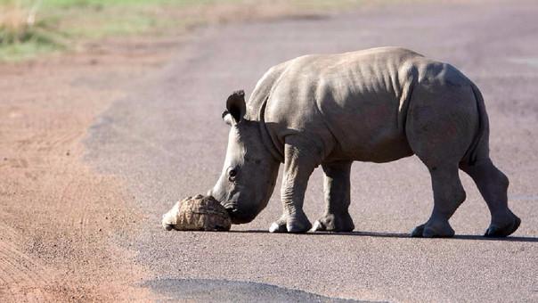 Bebé rinoceronte ayuda a una tortuga a cruzar una carretera