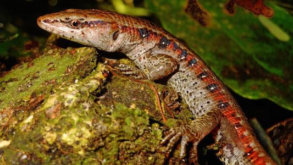 Descubren nueva lagartija en la selva central de Perú