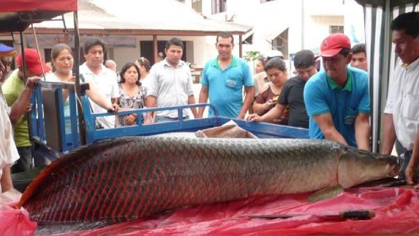 En Bolivia se ha determinado que la especie posee hábitos omnívoros con preferencia por los peces, y que es un oportunista más que una especie selectiva.