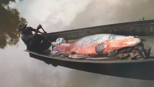 El paiche se hace fuerte en la Amazonía de Bolivia
