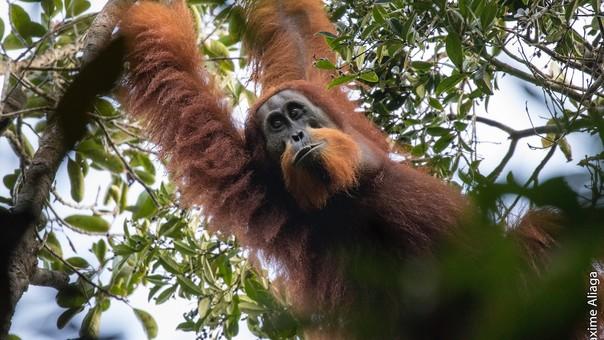 El Octavo Gran Simio: nueva especie de orangután descubierta en Sumatra