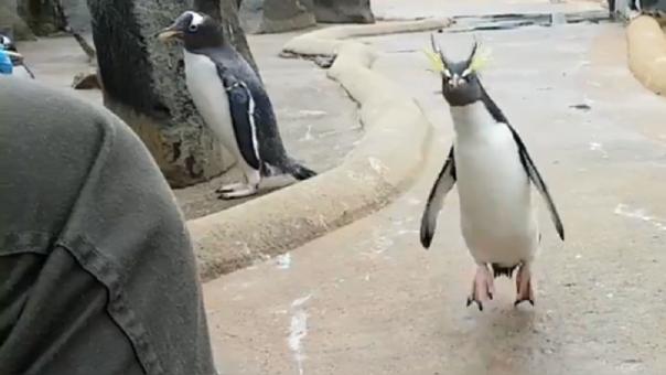 Un pingüino saltando como loco en un zoológico — Nueva estrella viral