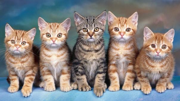 gatos enfermedades transmiten